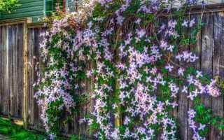 Как загородить забор цветами
